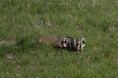 Badger observing us